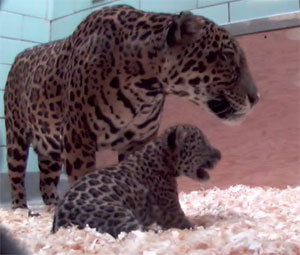 Kanga with newborn Jaguar cub